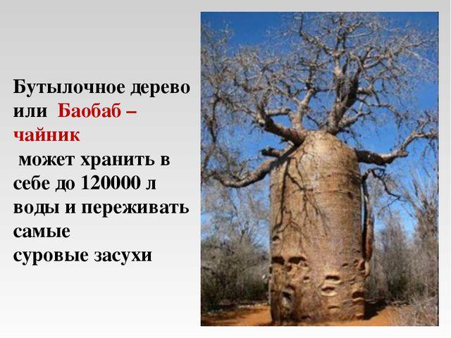 Бутылочное дерево или Баобаб – чайник может хранить в себе до 120000 л воды и...