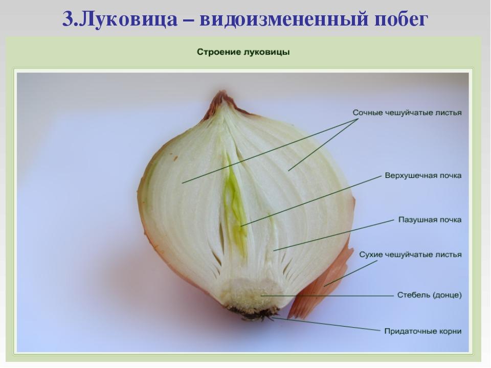 3.Луковица – видоизмененный побег