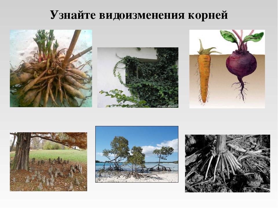 Узнайте видоизменения корней