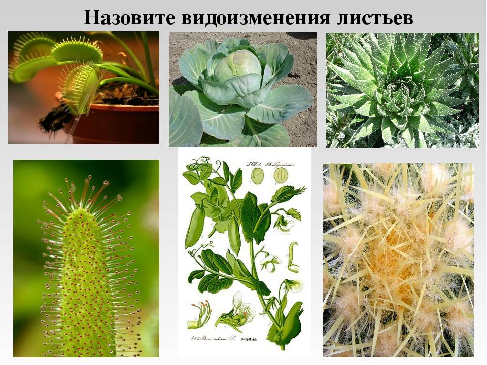 Назовите видоизменения листьев