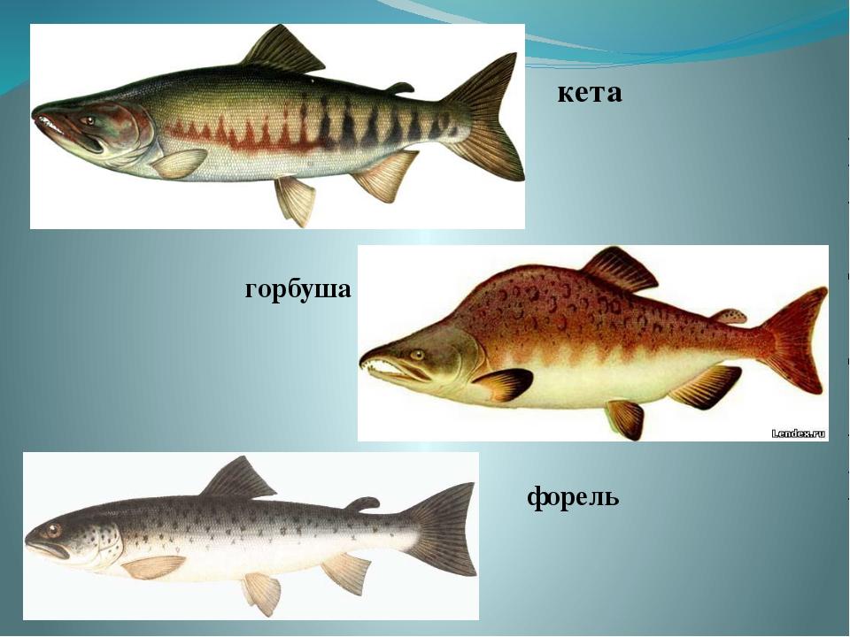 рыба кета фото и описание часто соглашается эротические