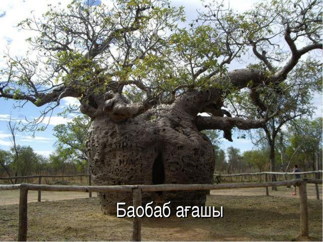 Баобаб ағашы