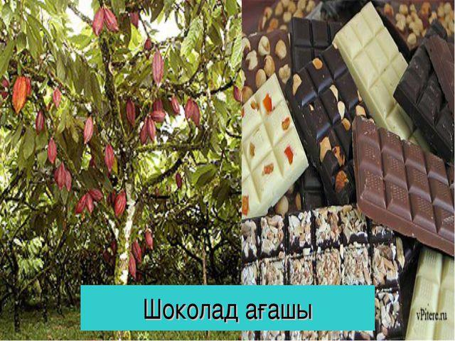 Шоколад ағашы