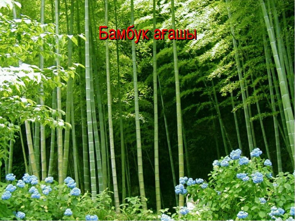 Бамбук ағашы