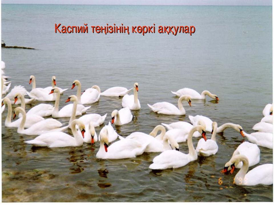 Каспий теңізінің көркі аққулар