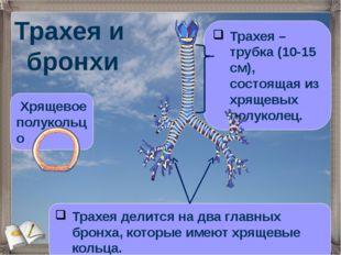 Трахея и бронхи Трахея – трубка (10-15 см), состоящая из хрящевых полуколец.