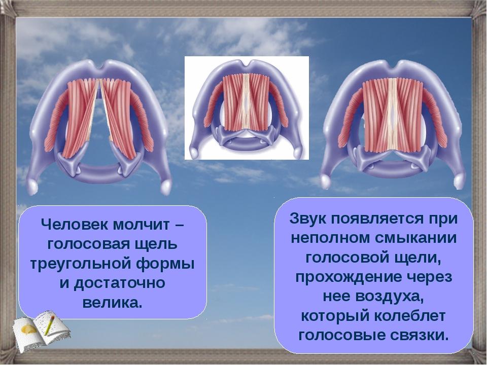 Человек молчит – голосовая щель треугольной формы и достаточно велика. Звук п...