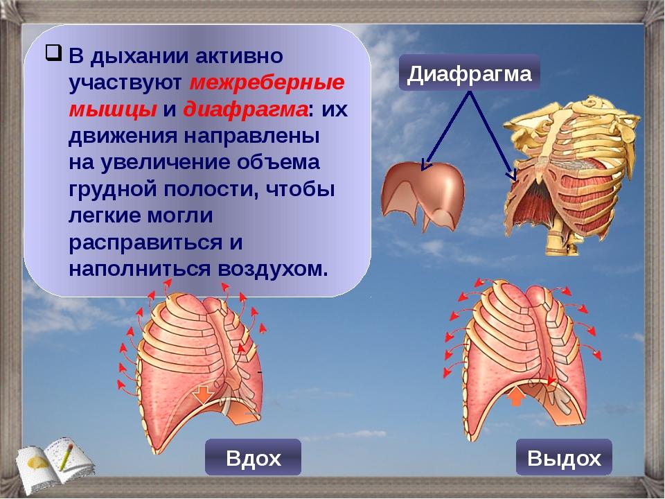 В дыхании активно участвуют межреберные мышцы и диафрагма: их движения направ...