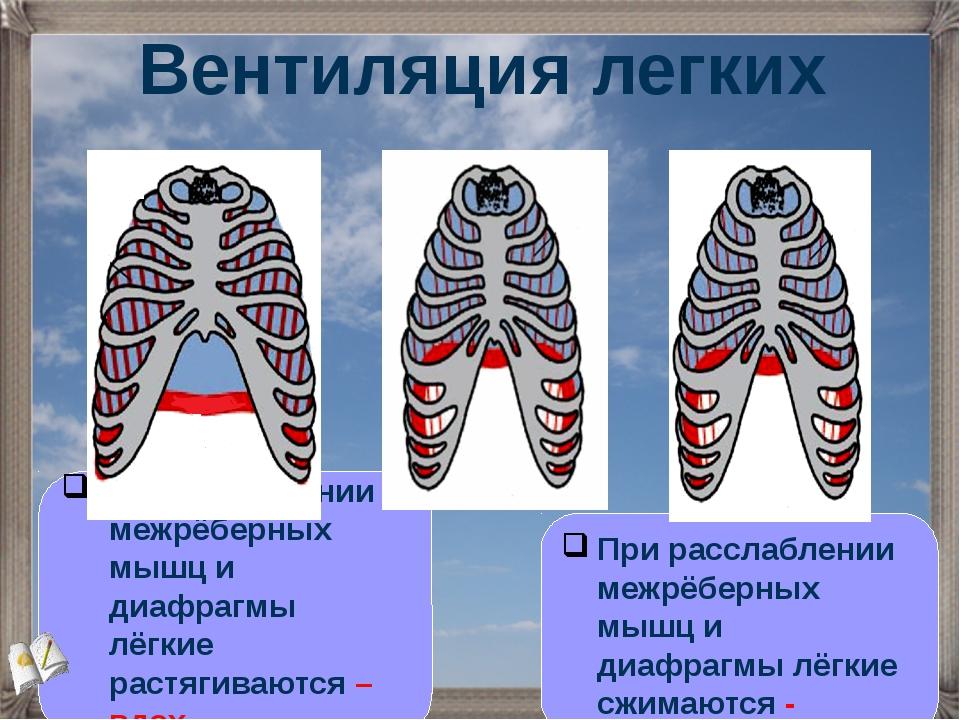 При сокращении межрёберных мышц и диафрагмы лёгкие растягиваются – вдох. Вент...