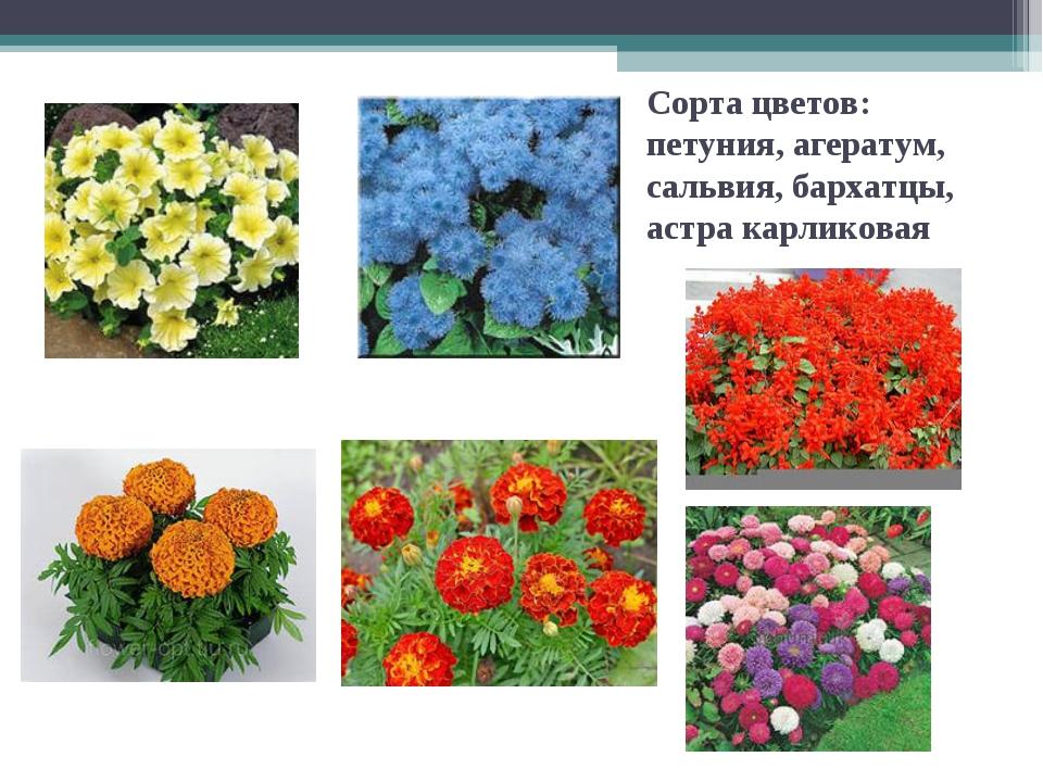 Сорта цветов: петуния, агератум, сальвия, бархатцы, астра карликовая