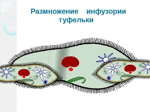 Размножение инфузории туфельки Размножаются инфузории только бесполым путем...