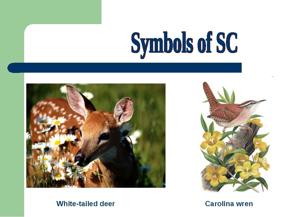White-tailed deer Carolina wren