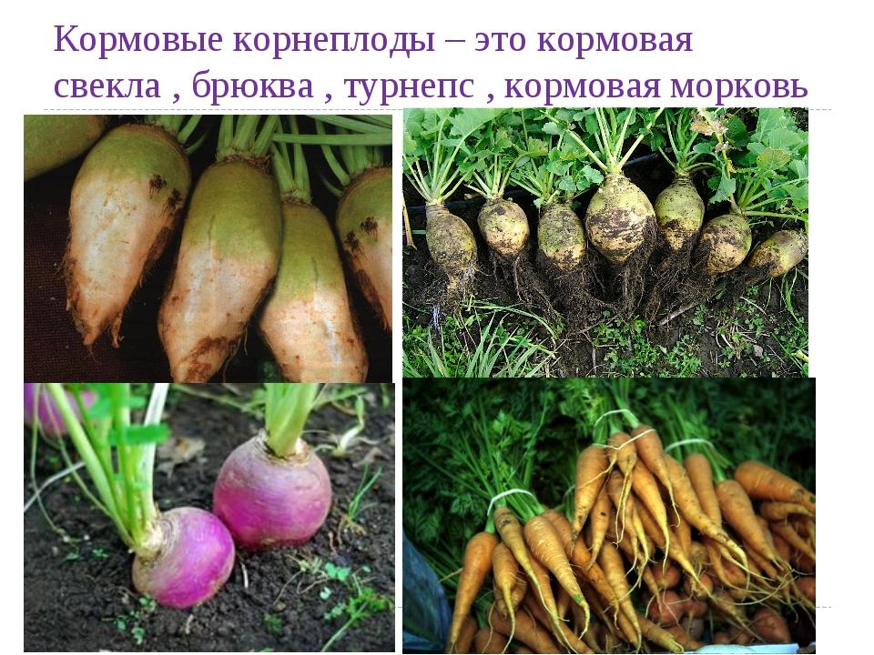 Кормовые корнеплоды – этокормовая свекла , брюква , турнепс , кормовая морковь