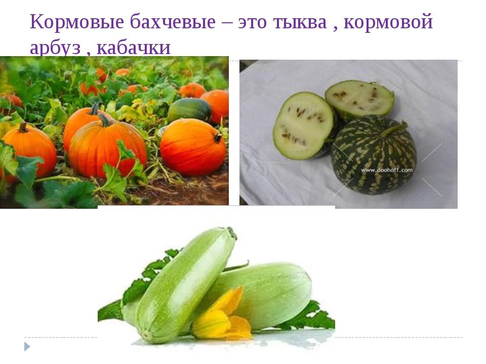 Кормовые бахчевые – это тыква , кормовой арбуз , кабачки