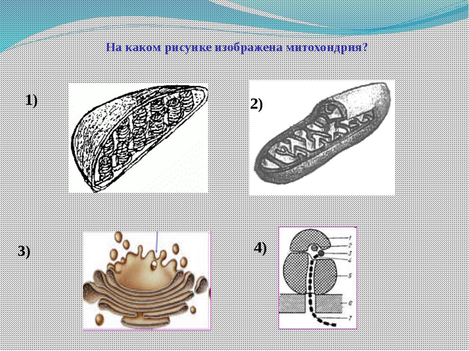 На каком рисунке изображена митохондрия? 1) 2) 3) 4)