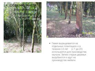 Гевея выращивается на отдельных плантациях и в течение 13 лет (с 7 до 20) ис
