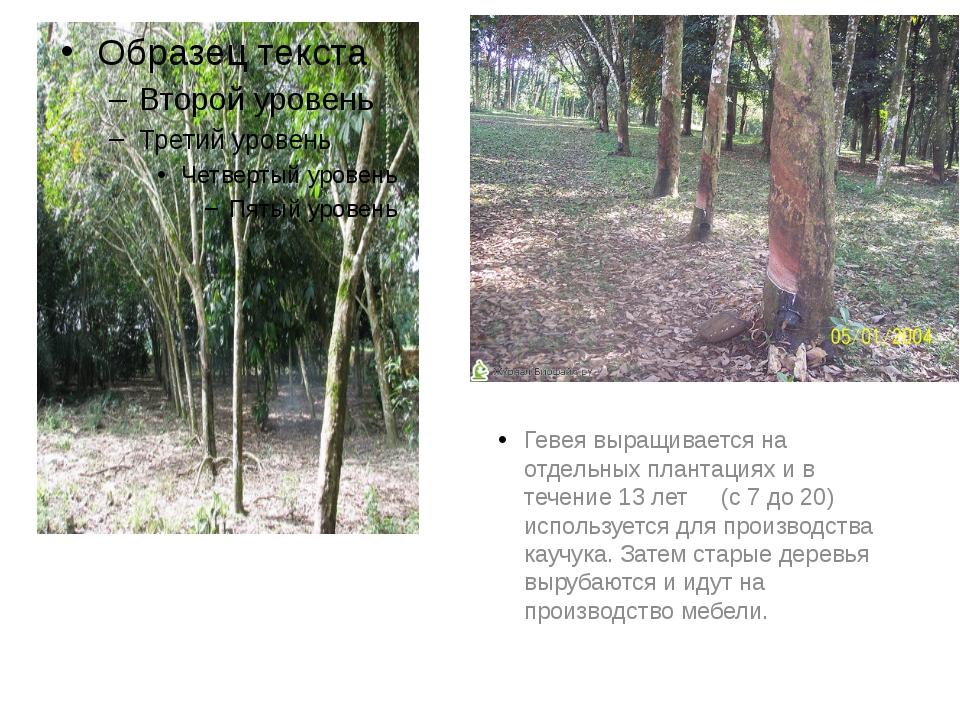 Гевея выращивается на отдельных плантациях и в течение 13 лет (с 7 до 20) ис...