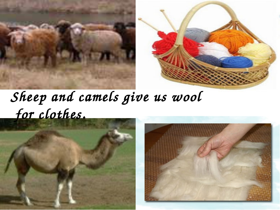 Sheep and camels give us wool for clothes.