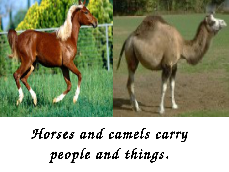 Horses and camels carry people and things.