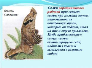 Самец воротничкового рябчика привлекает самок при помощи звуков, напоминающи