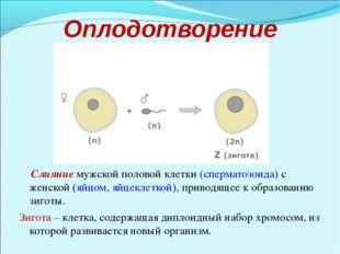 Оплодотворение Слияние мужской половой клетки (сперматозоида) с женской (яйцо