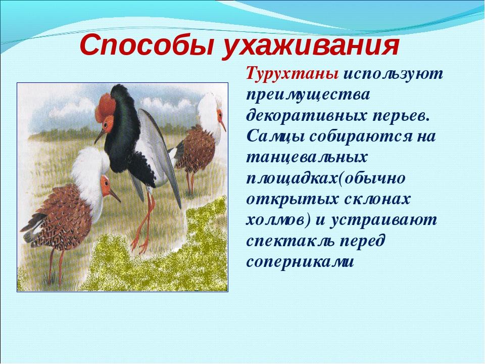Способы ухаживания Турухтаны используют преимущества декоративных перьев. Сам...