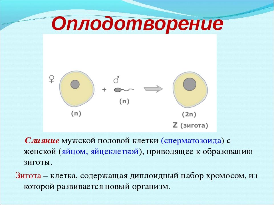 Оплодотворение Слияние мужской половой клетки (сперматозоида) с женской (яйцо...