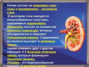 Почки состоят из внешнего слоя – коры и внутреннего – мозгового слоя. В мозго