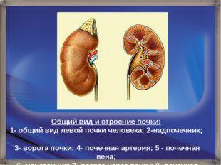 Общий вид и строение почки: 1- общий вид левой почки человека; 2-надпочечник;