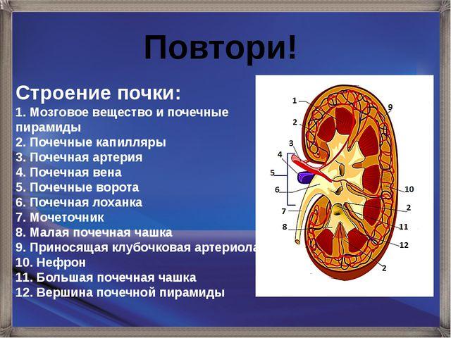 Строение почки: 1. Мозговое вещество и почечные пирамиды 2. Почечные капилляр...