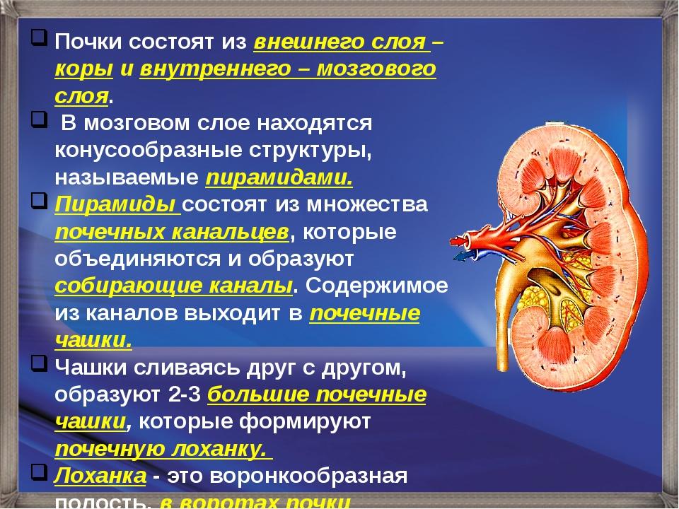 Почки состоят из внешнего слоя – коры и внутреннего – мозгового слоя. В мозго...