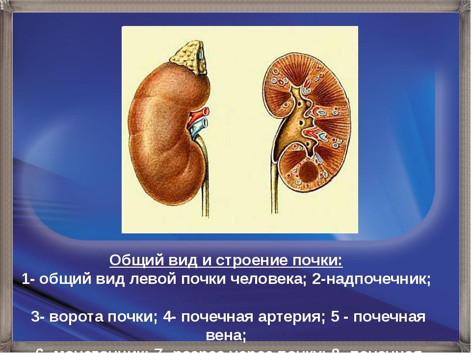 Общий вид и строение почки: 1- общий вид левой почки человека; 2-надпочечник;...