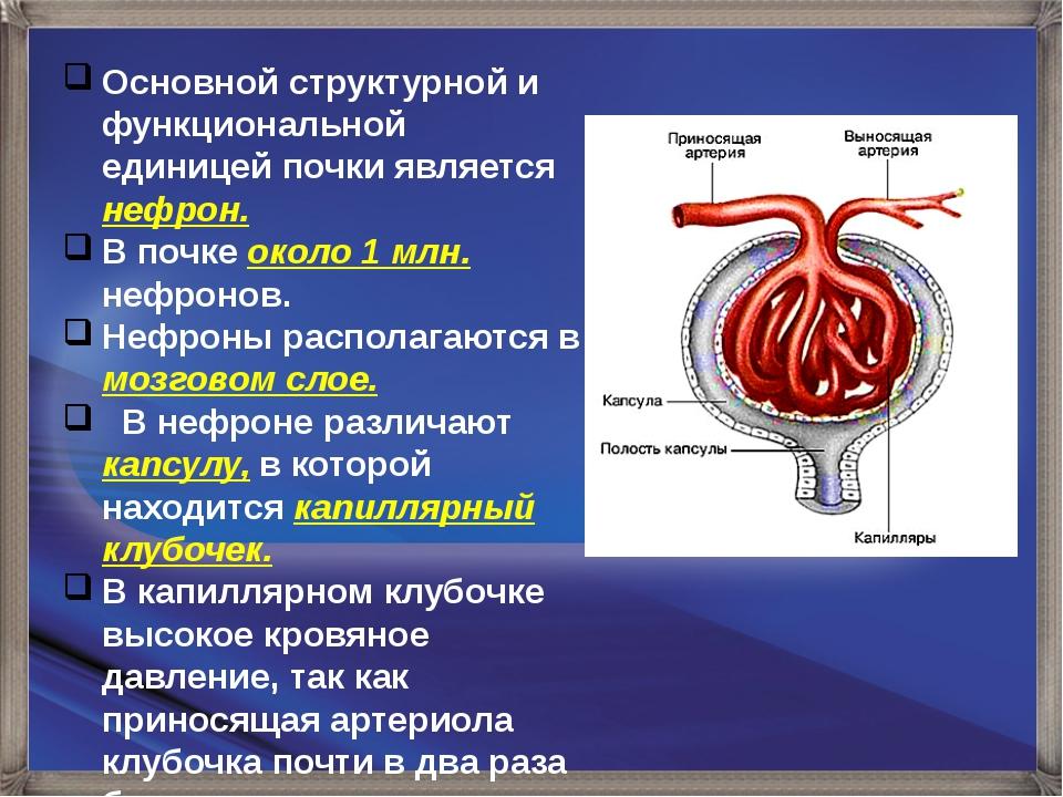 Основной структурной и функциональной единицей почки является нефрон. В почке...