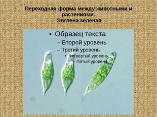 Переходная форма между животными и растениями. Эвглена зеленая