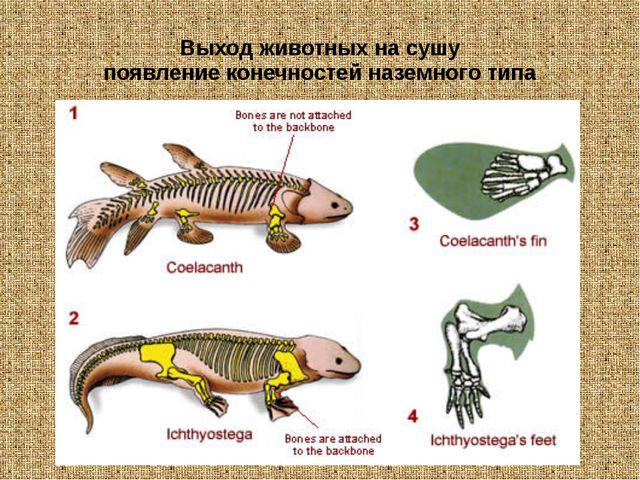 Выход животных на сушу появление конечностей наземного типа