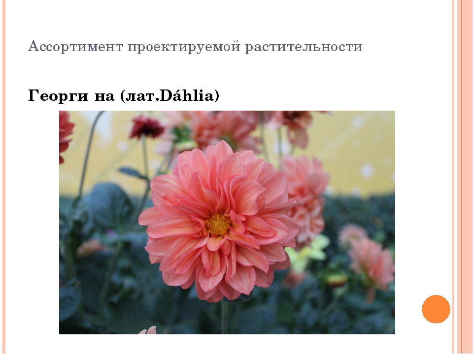 Ассортимент проектируемой растительности Георги́на (лат.Dáhlia)