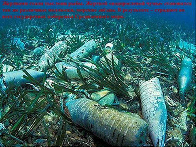 Жертвами стали тыс.тонн рыбы. Жертвой «водорослевой чумы» становятся так же...