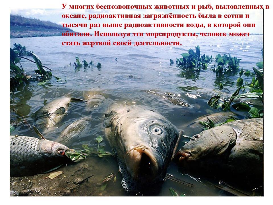 У многих беспозвоночных животных и рыб, выловленных в океане, радиоактивная...