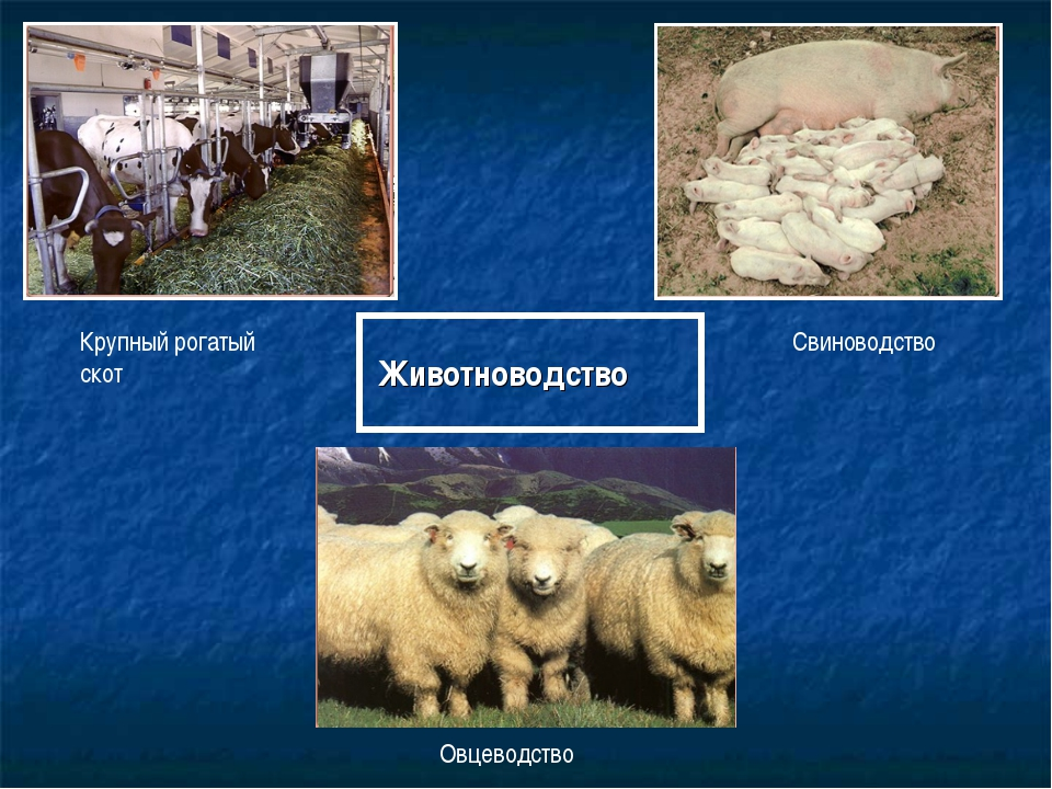 Животноводство Крупный рогатый скот Свиноводство Овцеводство