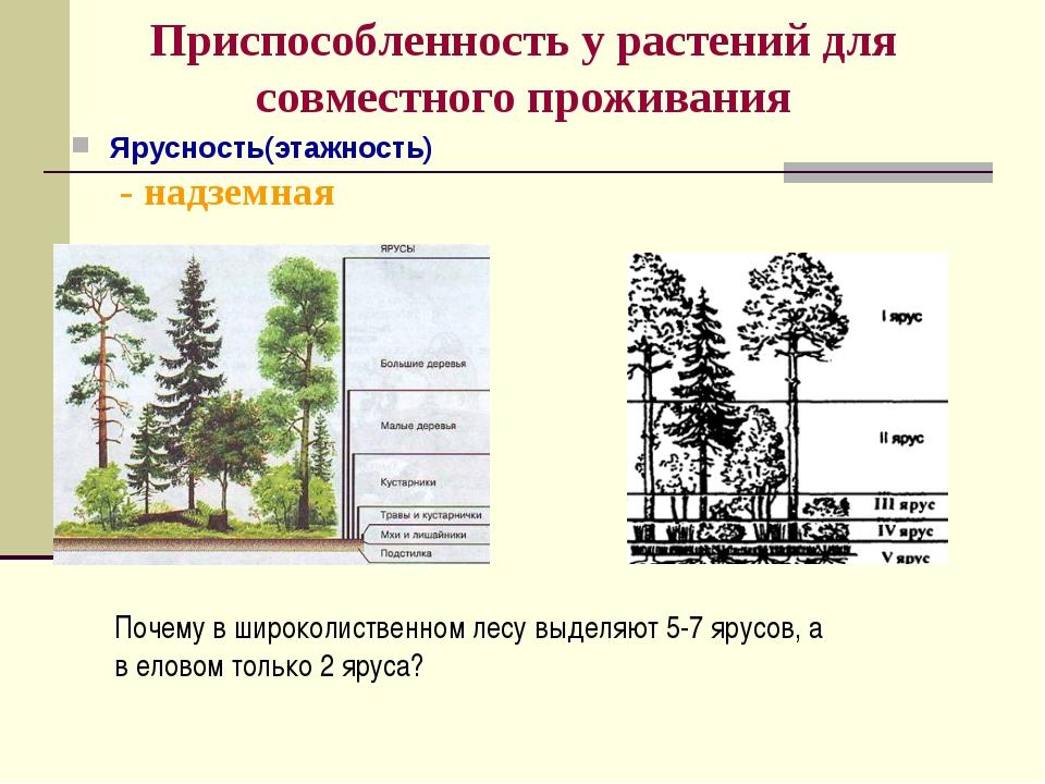 Приспособленность у растений для совместного проживания Ярусность(этажность)...