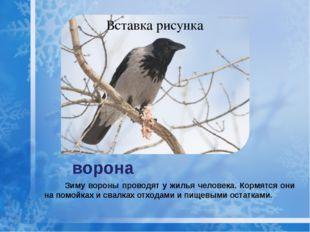 ворона Зиму вороны проводят у жилья человека. Кормятся они на помойках и свал