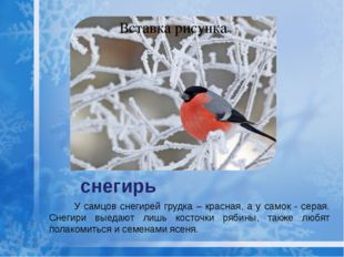 снегирь У самцов снегирей грудка – красная, а у самок - серая. Снегири выедаю