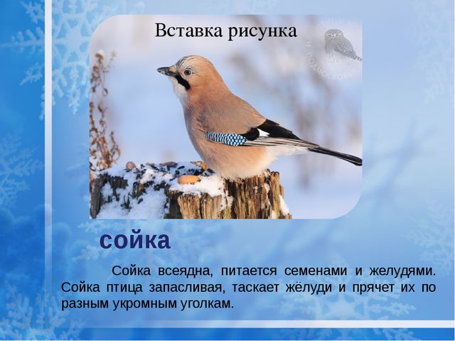 сойка Сойка всеядна, питается семенами и желудями. Сойка птица запасливая, та...