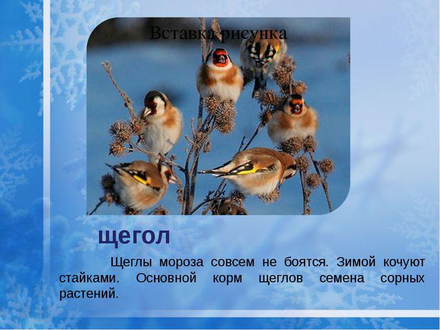 щегол Щеглы мороза совсем не боятся. Зимой кочуют стайками. Основной корм щег...