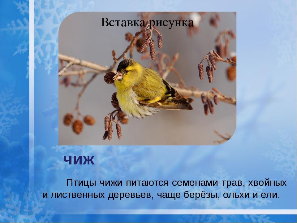 Птицы чижи питаются семенами трав, хвойных и лиственных деревьев, чаще берёз...