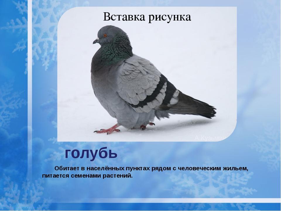 голубь Обитает в населённых пунктах рядом с человеческим жильем, питается сем...