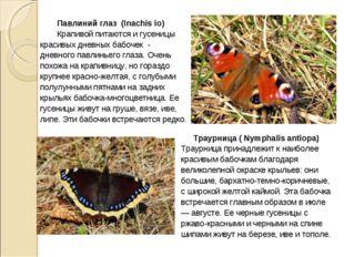 Павлиний глаз (Inachis io) Крапивой питаются и гусеницы красивых дневных баб