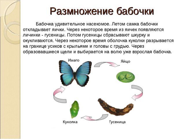 Размножение бабочки  Бабочка удивительное насекомое. Летом самка бабочки отк...
