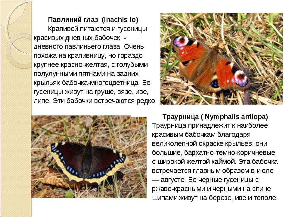 Павлиний глаз (Inachis io) Крапивой питаются и гусеницы красивых дневных баб...