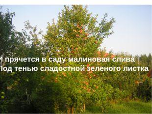 И прячется в саду малиновая слива Под тенью сладостной зеленого листка